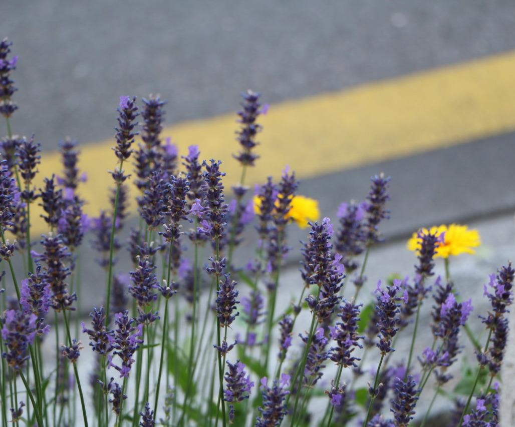 Lavendel hat ein starkes Aroma, das sich für Dessertkombis eignet. Foto: Lunchgate/Simone