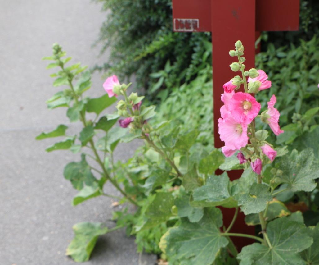 Malven wachsen überall in der Stadt, sie sind essbar, gesund und sehen hübsch aus. Foto: Lunchgate/Simone