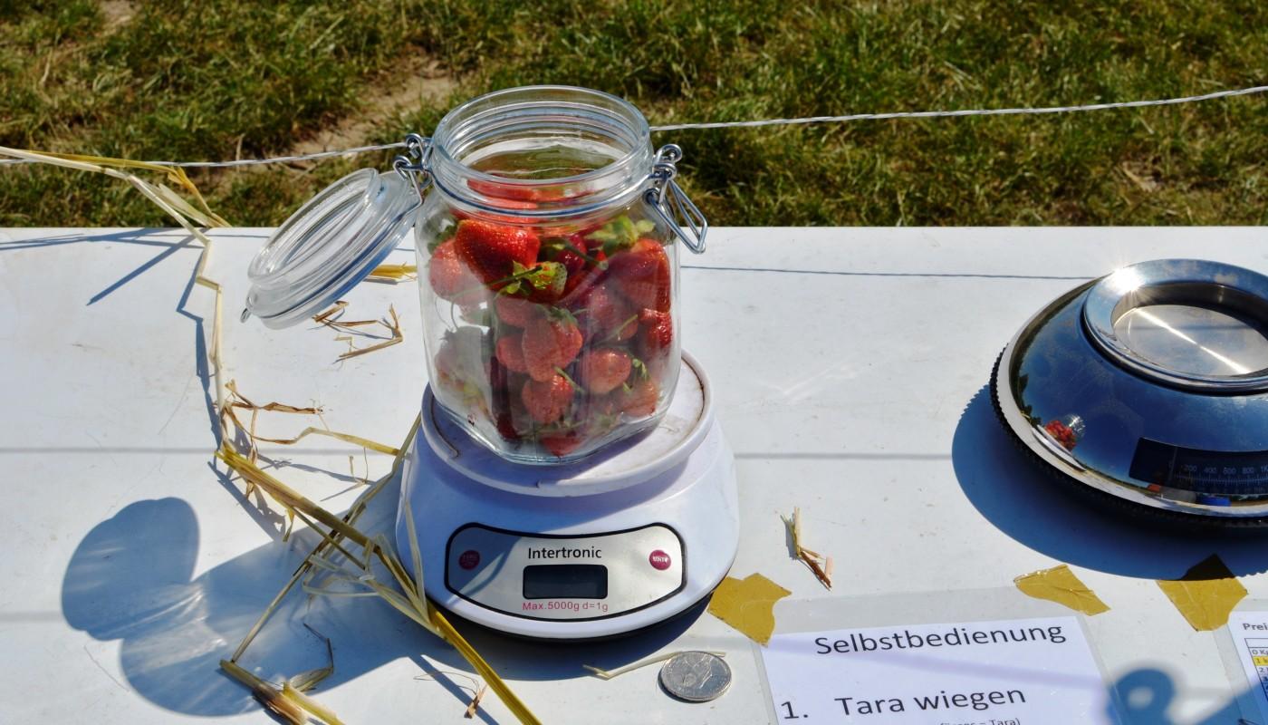 Selbstbedienung beim Erdbeeren plücken