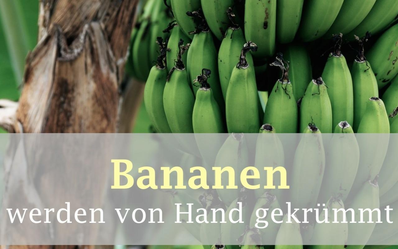 Essensmythen aufgedeckt: Warum ist die Banane krumm?