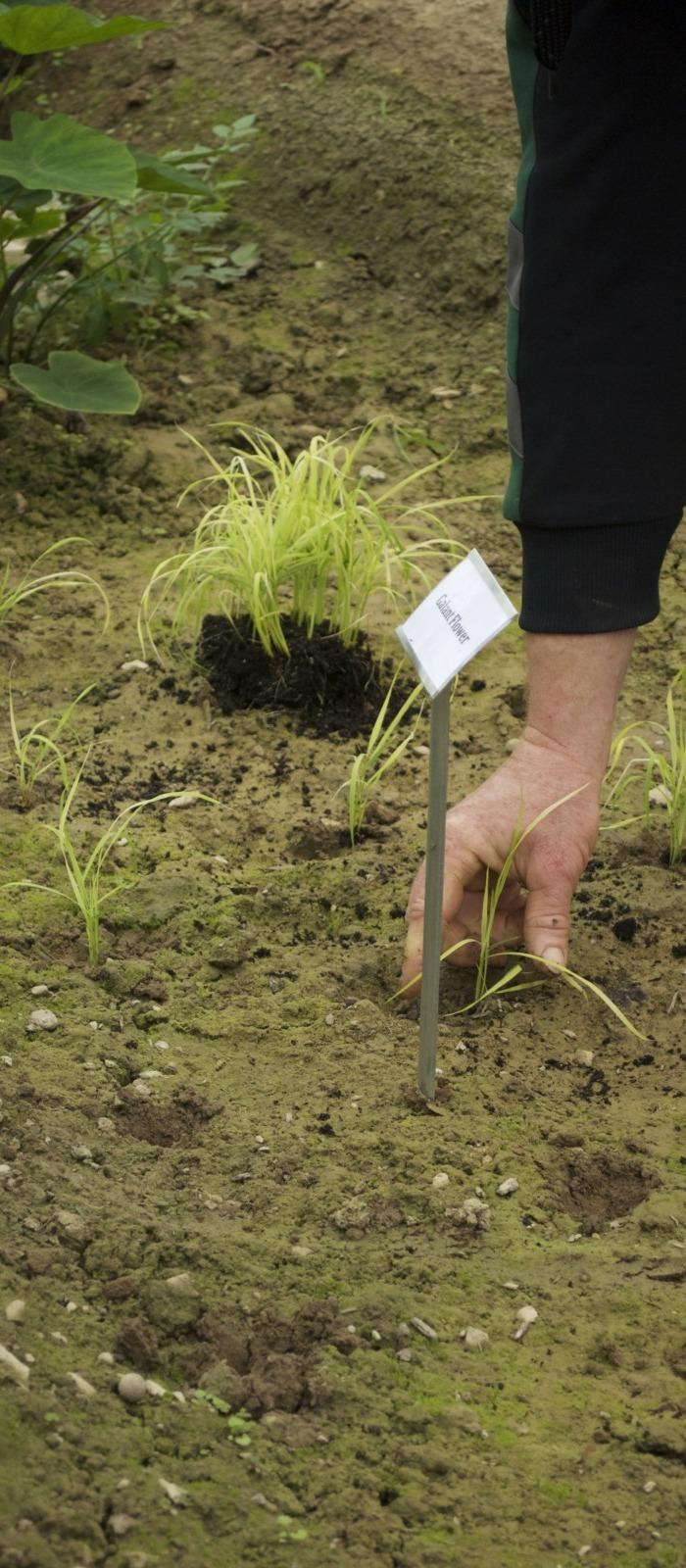 Tropenhaus: Reis anpflanzen