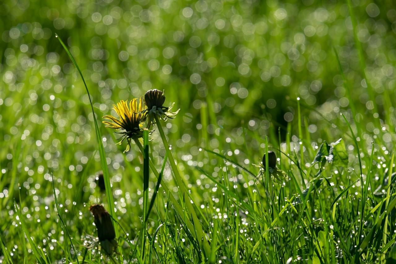 Löwenzahn-Blätter sind lecker und passen in den Salat. Foto: Pixabay