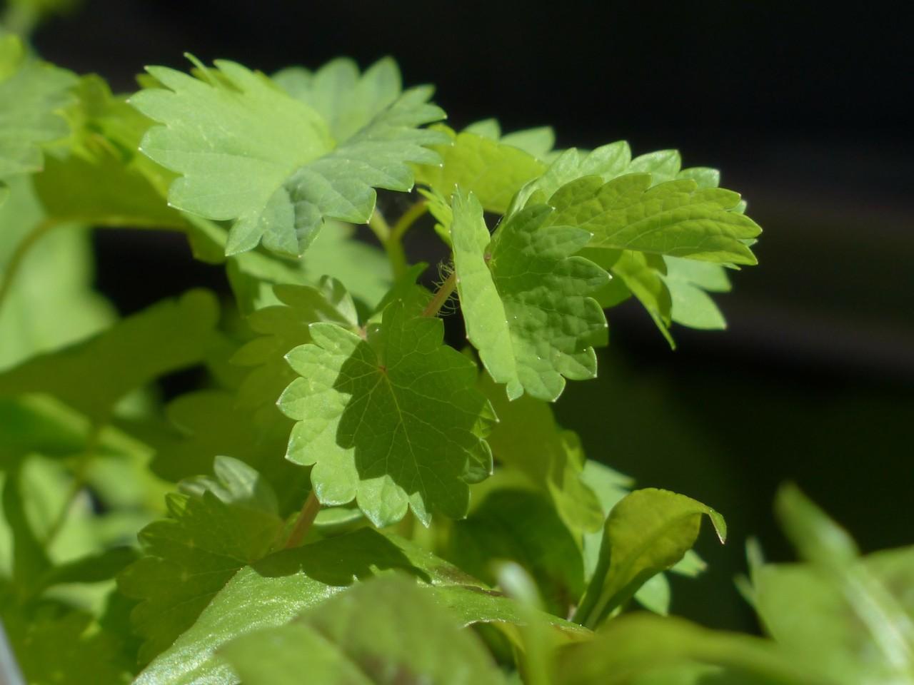 Der Wiesenknopf, auch Pimpinelle gennant, schmeckt leicht nach Gurken. Foto: Pixabay